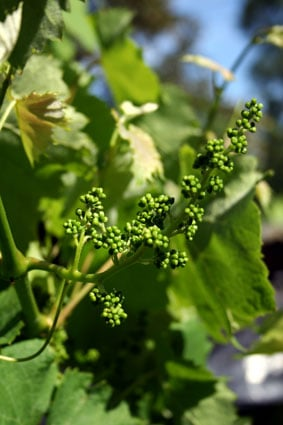 grapesfretoy.jpg