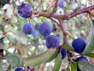 plums-.jpg