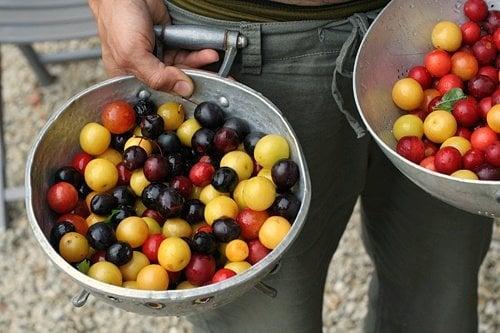 colander plums