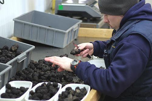 sorting black truffles