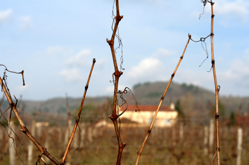 vines in cahors