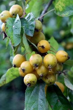 fruit at Ballymaloe