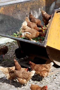 hens eating