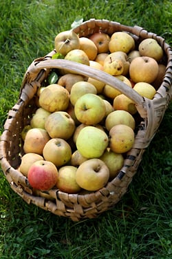 apples I picked
