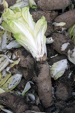 belgian endive plant