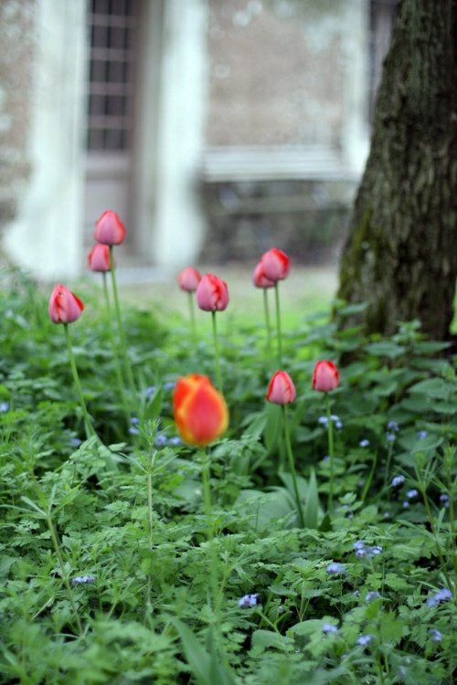Tulips in the Rain