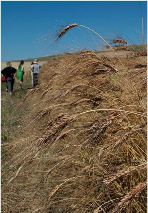 wheat field in Sicily