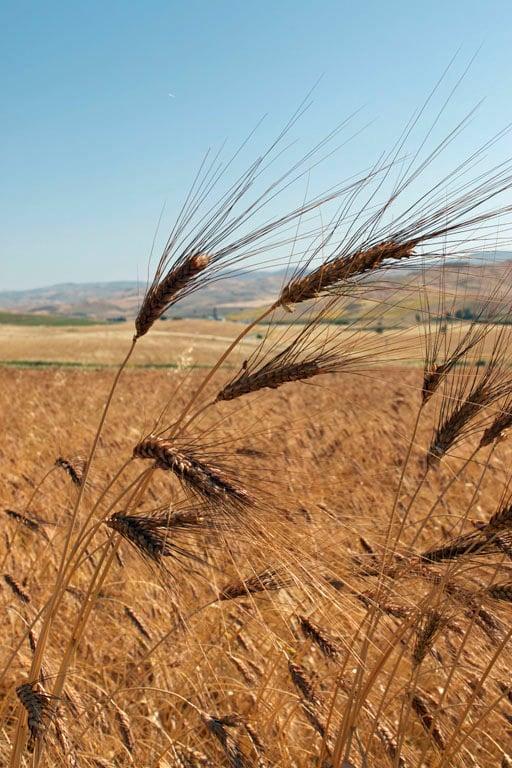 sicilian wheat fields