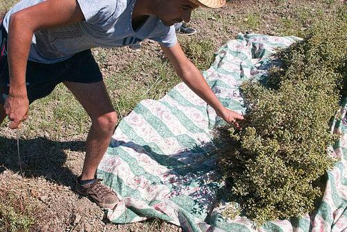 harvesting oregano