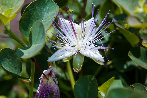 where do capers come from