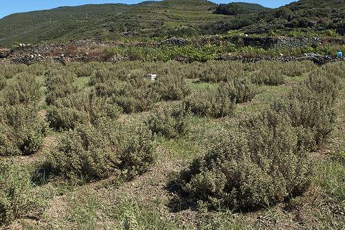 oregano field