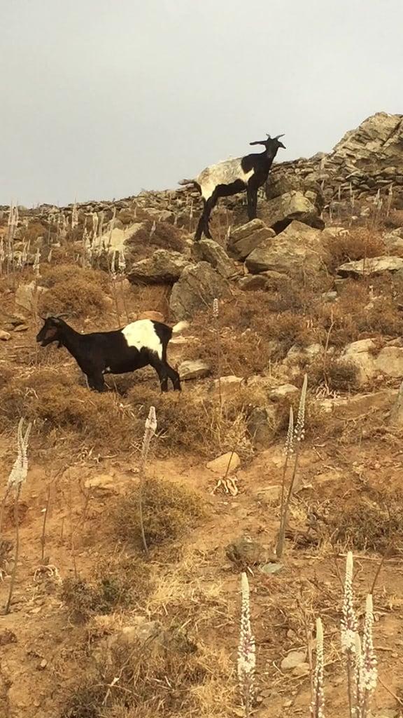 Greek mountain goats